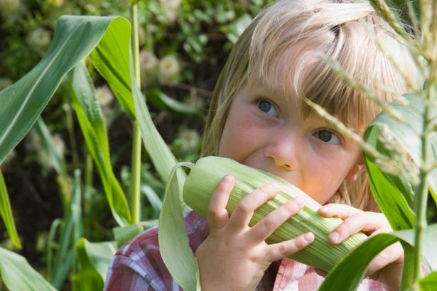 young-boy-holding-up-sweetcorn-in-vegetable-garden